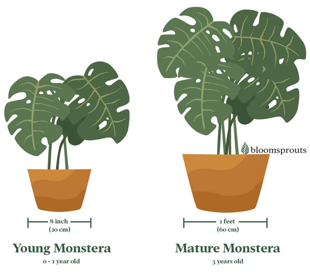 Pot Size for Monstera. If your Monstera is still a baby, it will need smaller pot, no more than 8 inches (20 cm) in diameter. A mature Monstera can get to a pot size of up to two feet (60 cm).