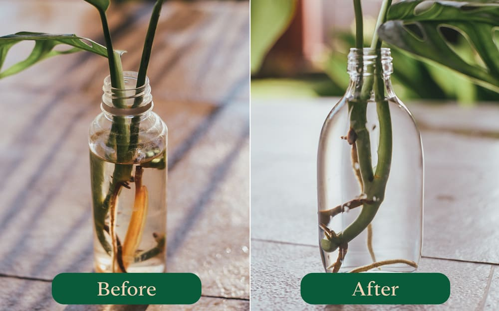 Before and after changing Monstera water