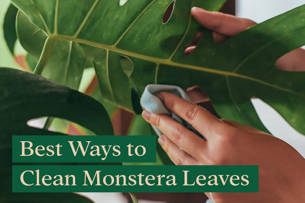 How to Clean Monstera Leaves