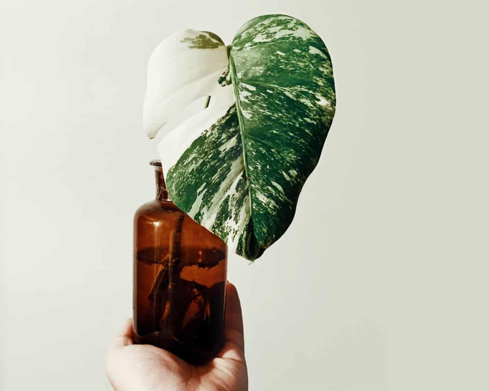 How to find Monstera Variegata Online