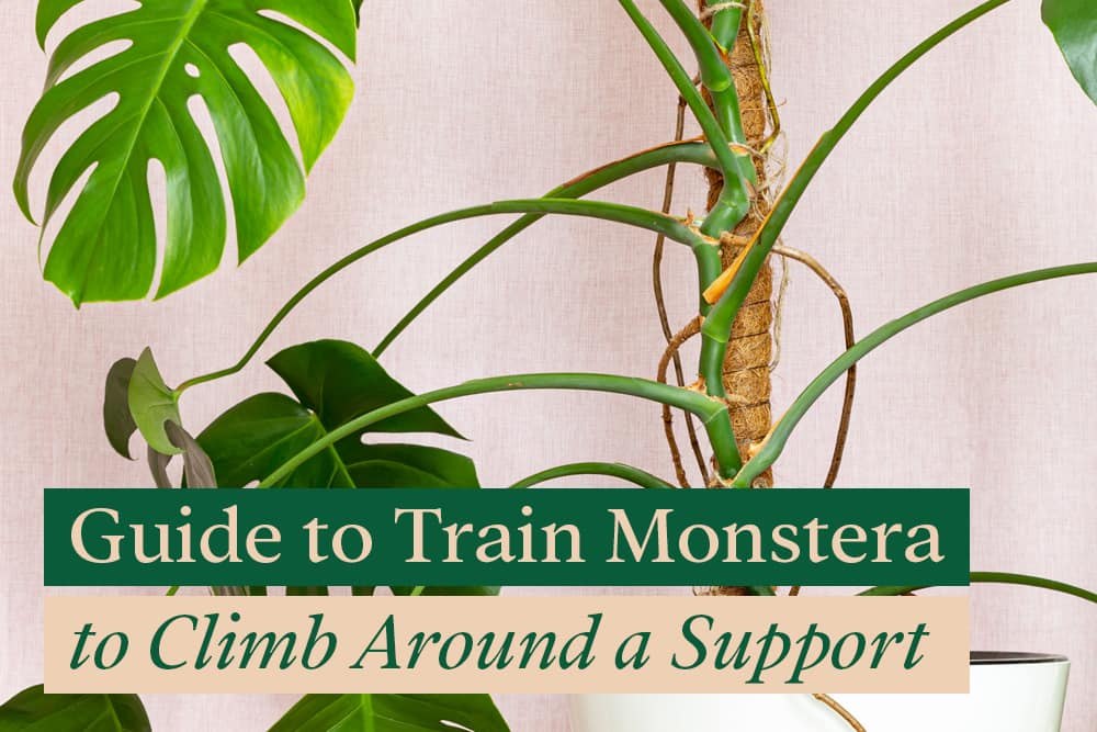 How to train Monstera to climb around a support