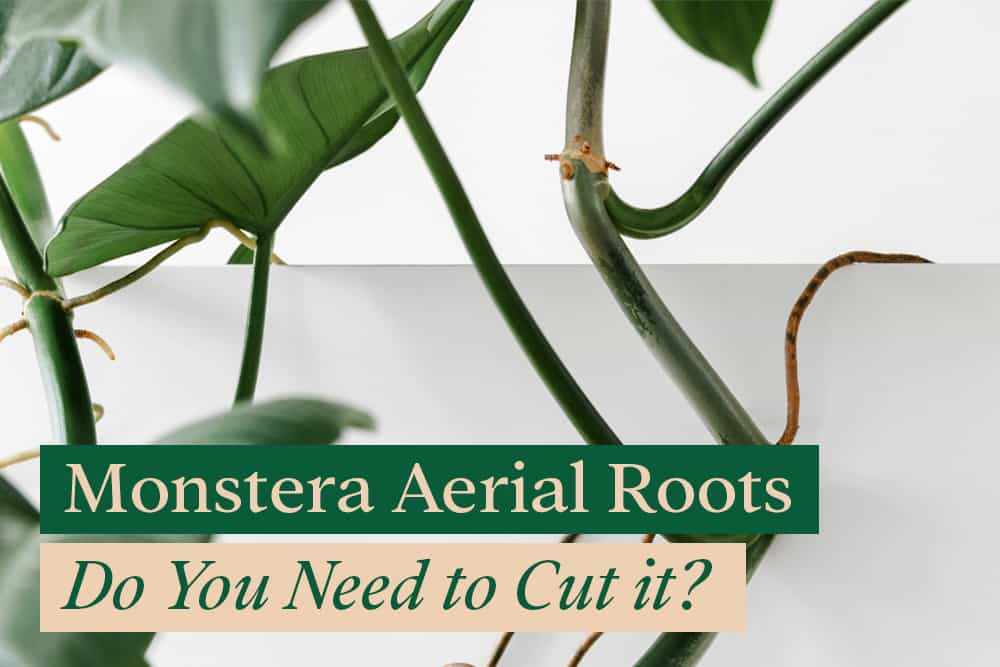 Can i cut Monstera Aerial roots?