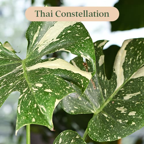 Monstera Thai Constellation variegation pattern