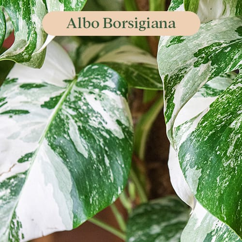 Monstera Variegated Albo Borsigiana leaf pattern