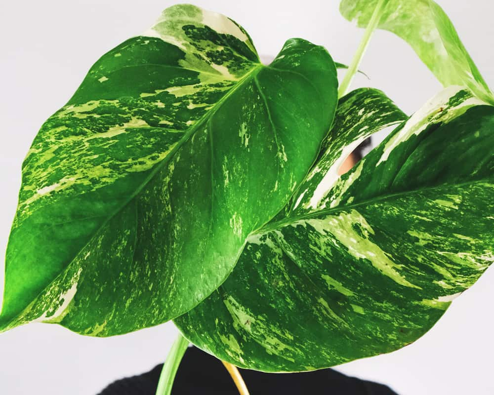 Variegation refers to the naturally-formed lighter patches on a plant's leaves. These light patches may be light green, yellowish, or even white, depending on the plant species