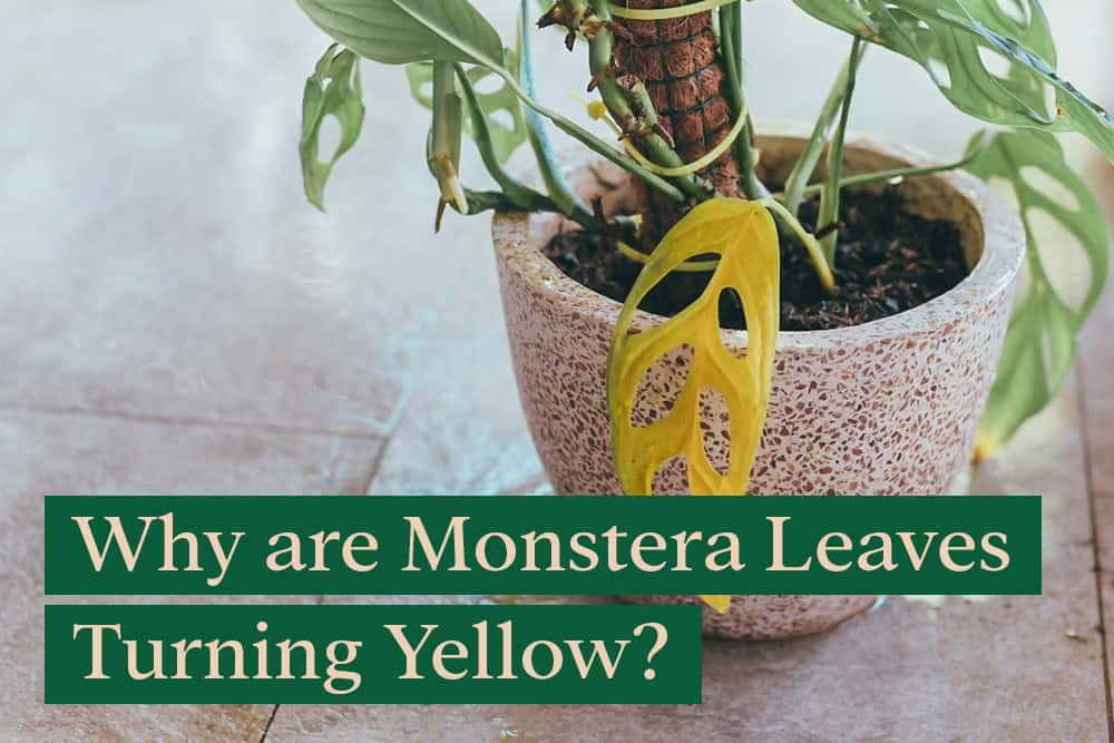Why are my Monstera leaves turning yellow