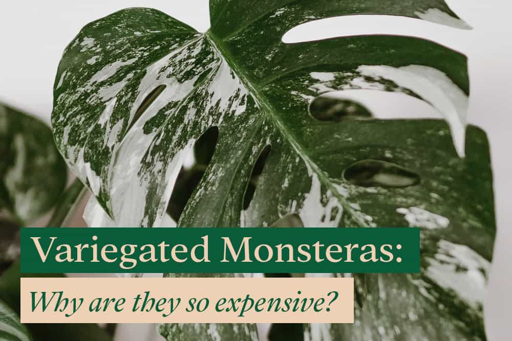 Why is Variegated Monstera so expensive?