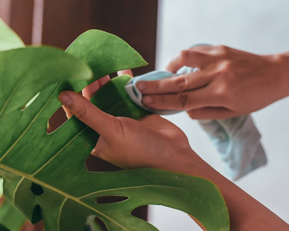 Wiping Monstera leaves to clean it from dust