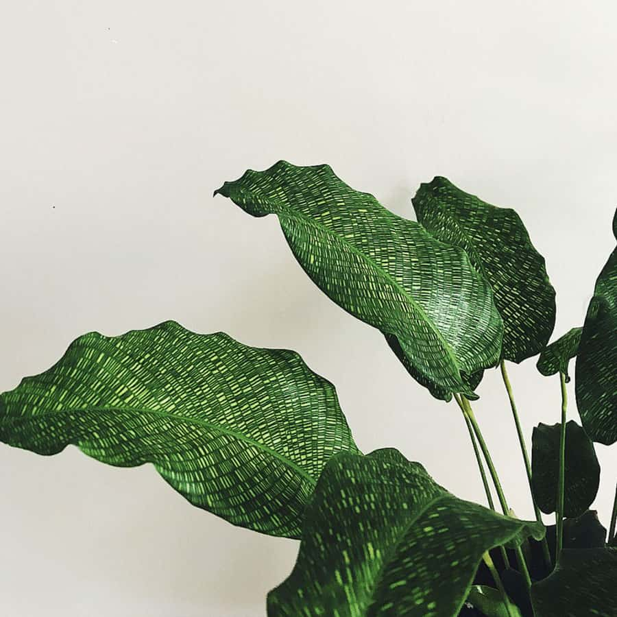 Extremely Rare Calathea variety: Calathea Musaica also known as the Network Plant