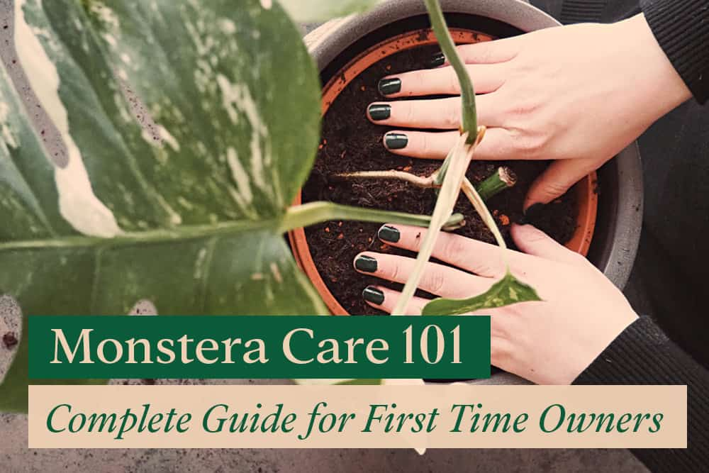 Monstera Care 101: Complete Guide for First Time Owner