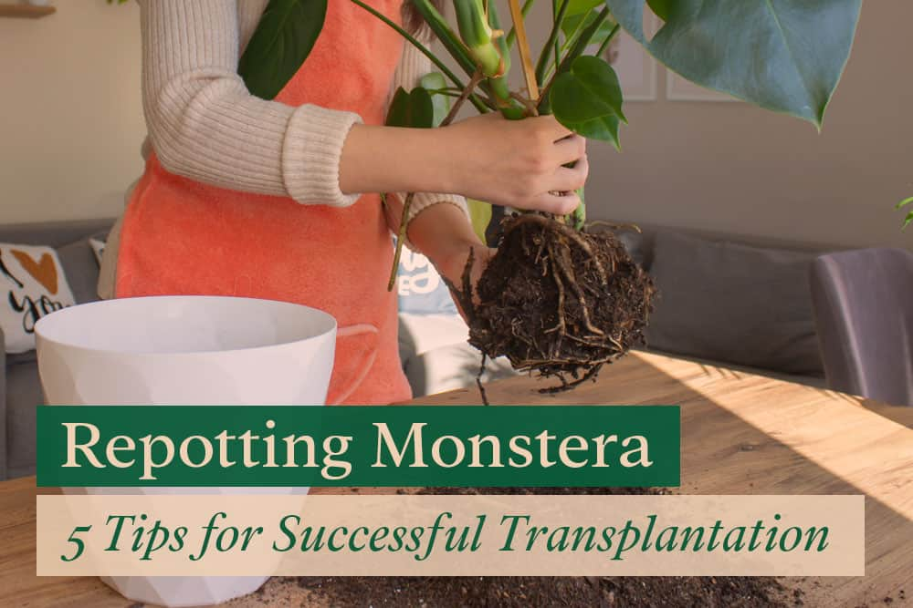 Repotting Monstera plant from old pot to a new pot