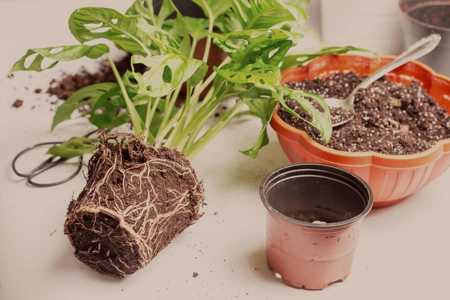 Repotting Monstera process to new pot with aerated and well drain soil mix