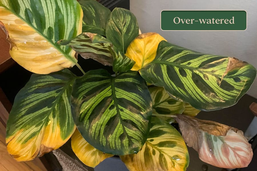 Signs of overwatering in Calathea plant.