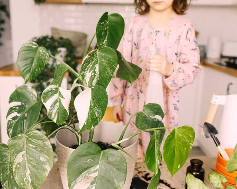 Teaching kids to care for Monstera helps them avoid chewing the plant