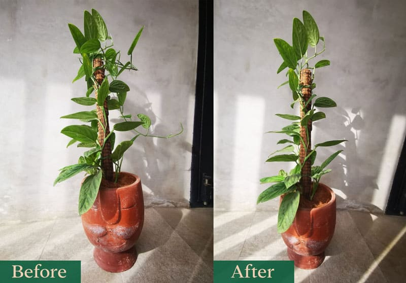 Monstera Peru before and after pruning