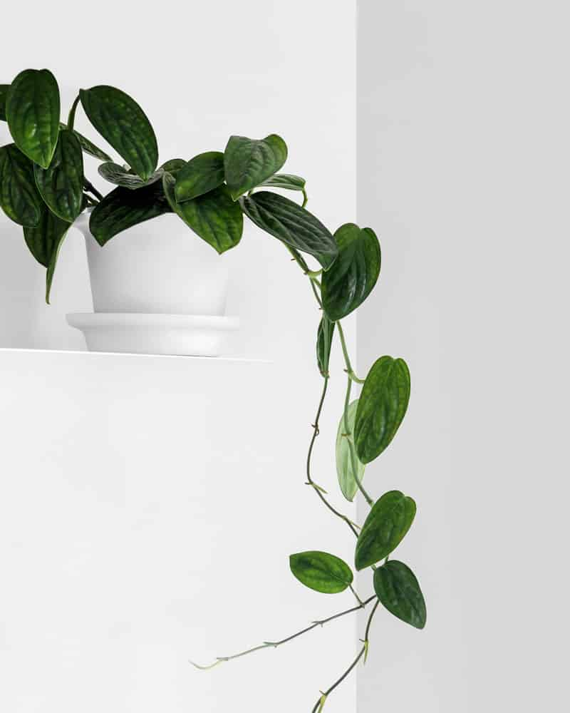 Monstera Peru vining down from the pot
