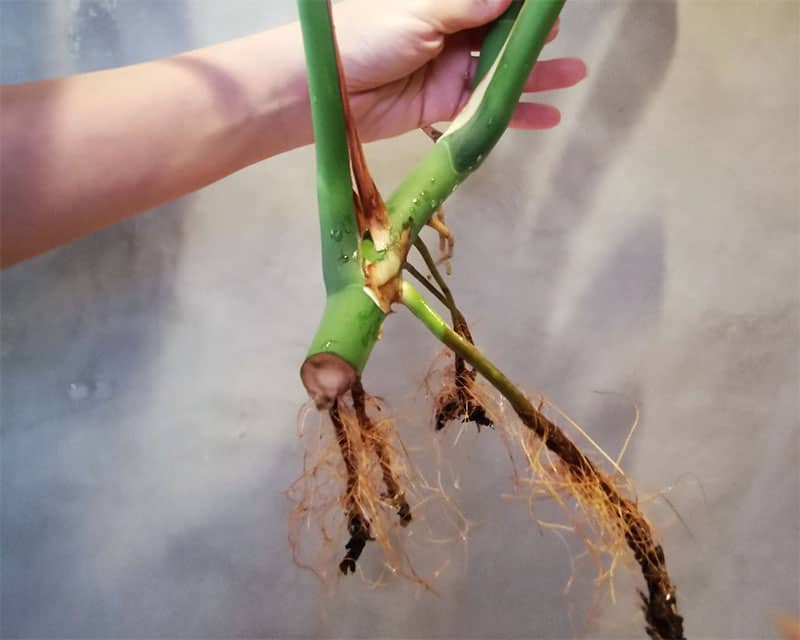 Root rot when propagating Monstera