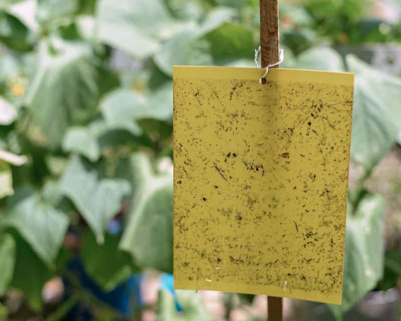 yellow color sticky traps to lure thrips on monstera