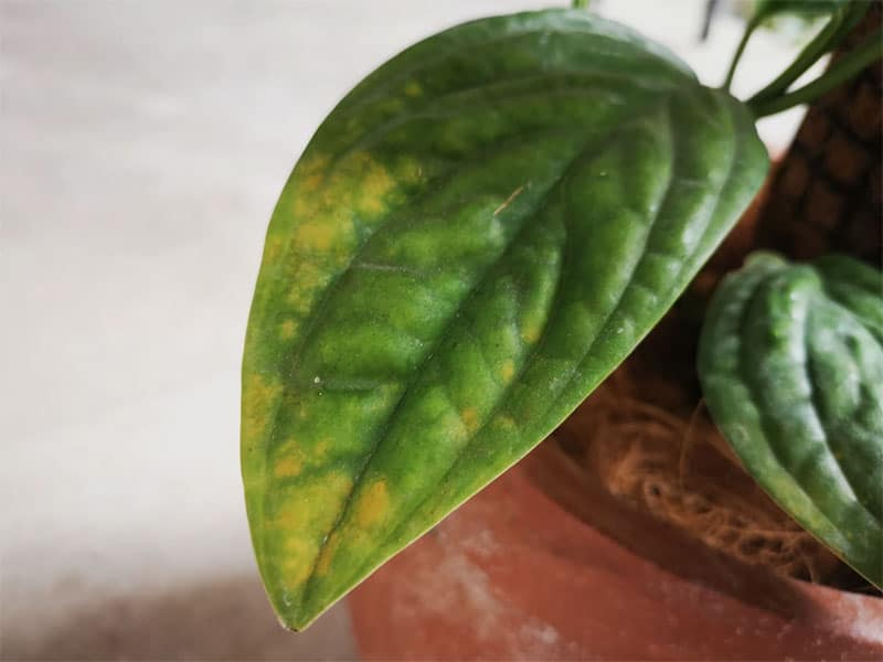 Yellowing on Monstera leaves due to lack of nutrients