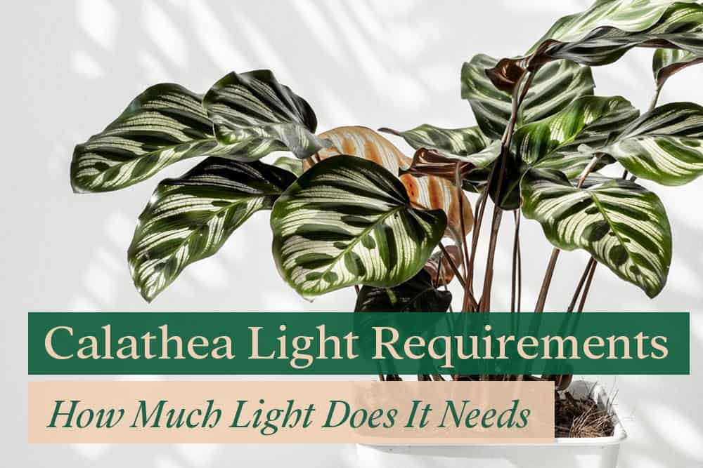 Calathea light requirement - how much does it need