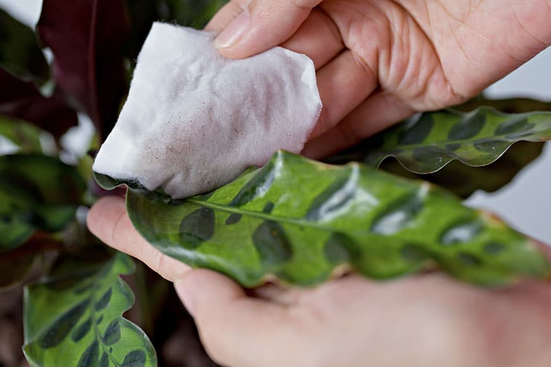 Cleaning Calathea leaves by wiping with damp cloth