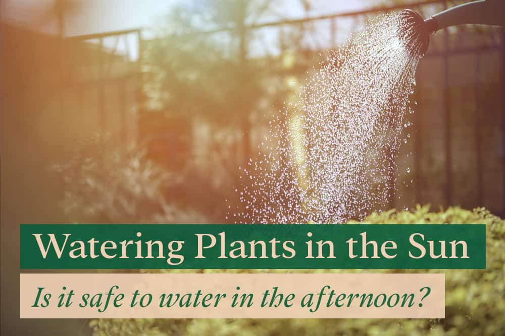 Watering plants in the afternoon - is it safe?