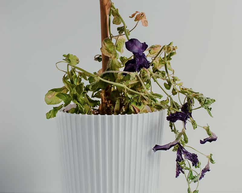 Wilting plant due to hot water