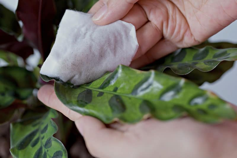 Woman cleaning calathea leaves with damp cloth
