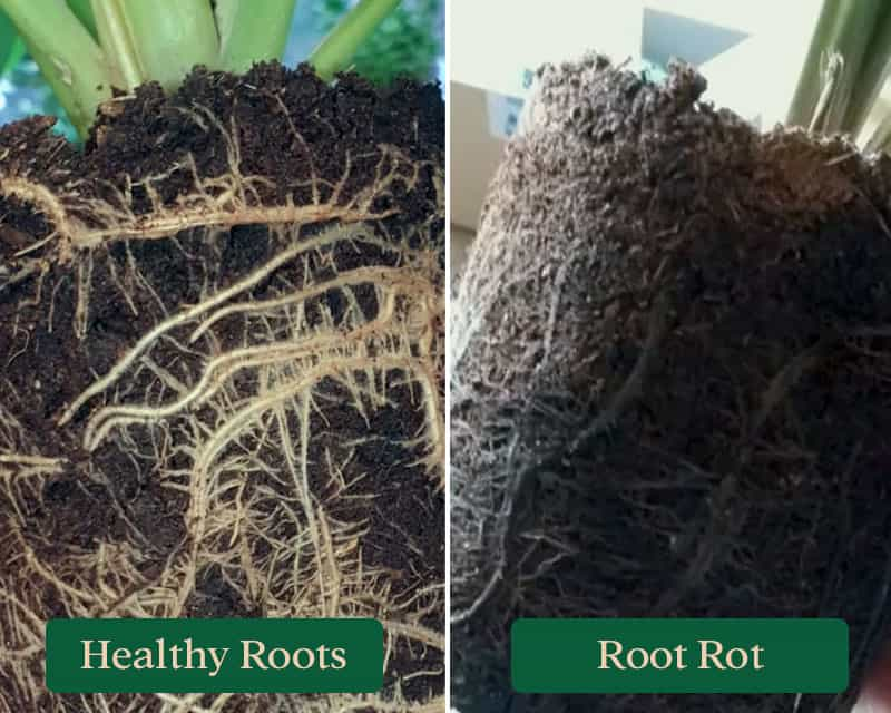 Healthy Calathea roots compared to rotten root